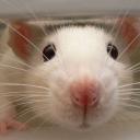 The rat basement